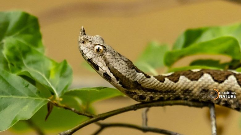 ShSKUK furnizohet me serumin kundër kafshimit të gjarprit